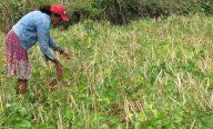 Mais de 300 famílias de agricultores familiares comemoram aumento na produção de feijão